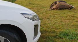 Potrącił krowę i uciekł z miejsca zdarzenia