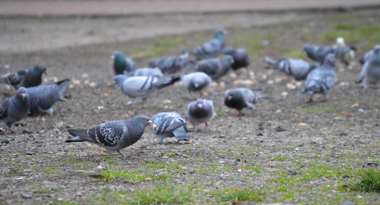 [JEDNO ZDJĘCIE], [JEDNO ZDJĘCIE] Gołębie centrum Piły - zdjęcie, fotografia