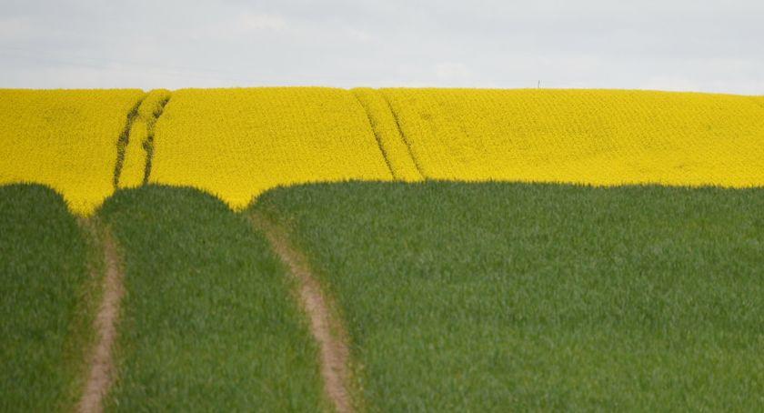 REGION, Krajobraz żółto zielono rzepaku Piłą [ZDJĘCIA] - zdjęcie, fotografia