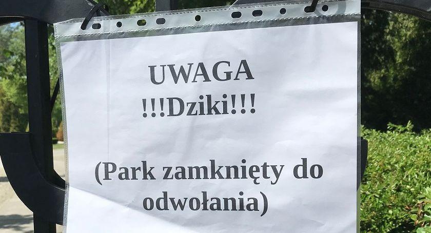 PIŁA, Dziki rozwiązać problem obecności zwierząt mieście - zdjęcie, fotografia