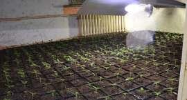 Ponad 600 krzewów konopi! Policja zlikwidowała plantację