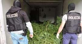 Policjanci zlikwidowali leśną plantację konopi [VIDEO]