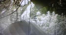 Policja zlikwidowała plantację konopi. Zatrzymano 11 osób [VIDEO]