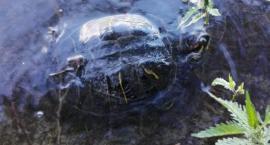 Nietypowy połów pod Piłą. Żółw w jeziorze [ZDJĘCIA]