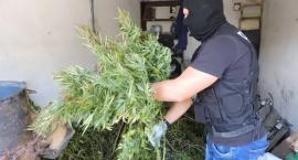 Policjanci zlikwidowali dwie plantacje konopi. Zatrzymano trzy osoby [VIDEO]