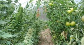Konopie w pomidorach. Policja przechwyciła narkotyki o wartości 100 tysięcy
