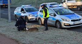 Policjanci ratowali potrąconą sarnę [ZDJĘCIA]