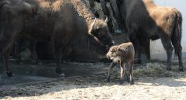 Pierwsze w tym roku narodziny w Dzikiej Zagrodzie [VIDEO]