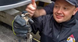 Na ratunek sarnie i dzięciołowi. Nietypowe akcje strażaków [VIDEO][ZDJĘCIA]