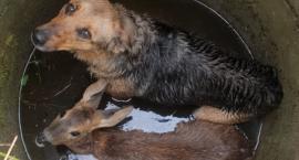 Strażacy ratowali uwięzione w studni zwierzęta [ZDJĘCIA]