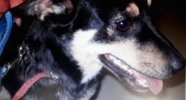 Kopała i szarpała psa. 50-latka z Piły odpowie za znęcanie się nad zwierzęciem