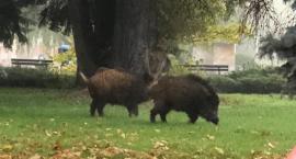 Dziki w centrum Piły [WASZE NEWSY]