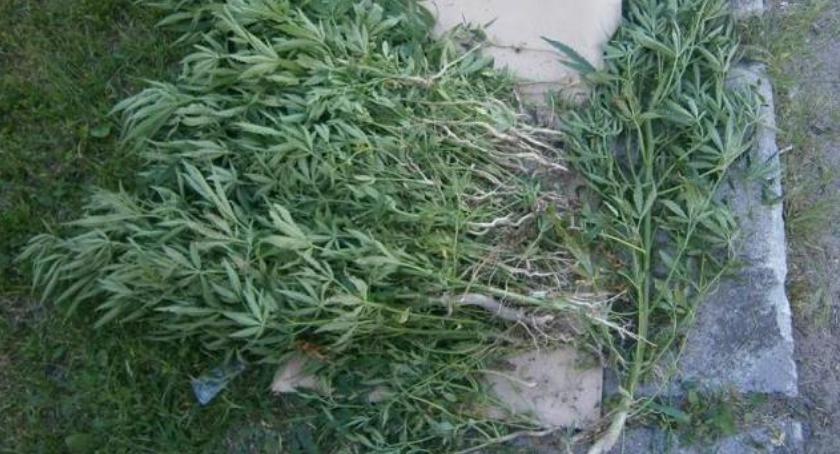 Policja, Kryminalni zlikwidowali nielegalną uprawę marihuany - zdjęcie, fotografia