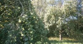Jedzmy jabłka dawnych odmian