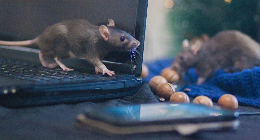 Inne Ciekawostki, pozbyć gryzoni Sprawdź skuteczne sposoby szczury - zdjęcie, fotografia