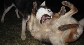 Garwolin – Agresywny owczarek zagryzł psa. Kiedy zostanie odłowiony?