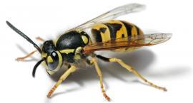 10 osób użądlonych przez osy, 2 w szpitalu - Uwaga na groźne owady!