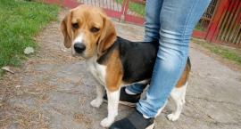 Suczka rasy Beagle wróciła do domu