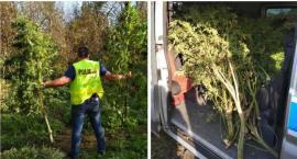 Policjanci przejęli plantację konopi