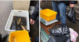 Karpie niemal bez wody, pakowane do reklamówek – zgłosiła to na policję
