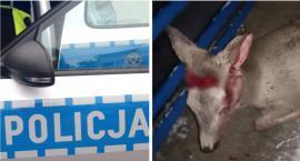 Potrącone zwierzę leżało kilka godzin bez pomocy – Kto jest winny?