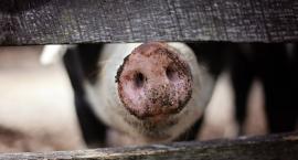 Dwa ogniska ASF w powiecie - blisko 100 świń zarażonych