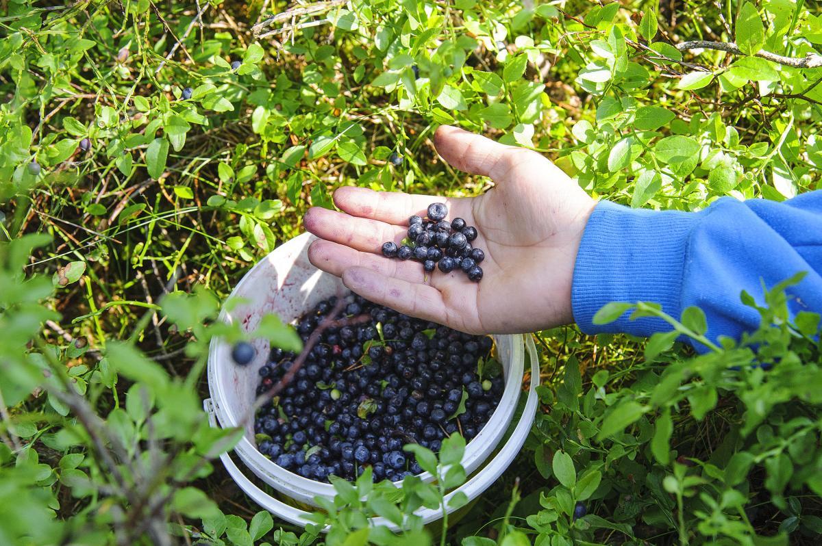 Przyroda, Kurka dopisała jagody będzie - zdjęcie, fotografia