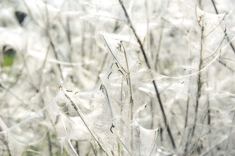 Przyroda, Cały krzak welonie - zdjęcie, fotografia
