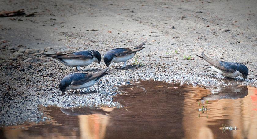 Przyroda, Jaskółki oknówki Kamieńcu - zdjęcie, fotografia