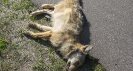 Wilk zginął pod kołami [FILM+GALERIA]