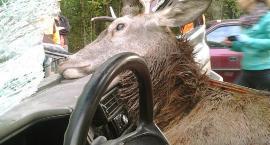 Jeleń wskoczył im do auta