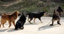 Bezpańskie psy buszują po lasach