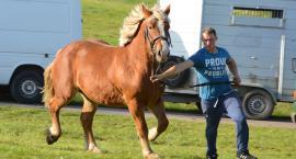 Próba dzielności koni rasy sztumskiej