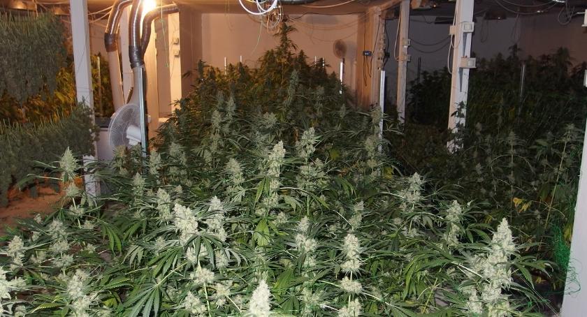 Sprawy kryminalne , Kruszwicy policjanci zlikwidowali plantację marihuany - zdjęcie, fotografia
