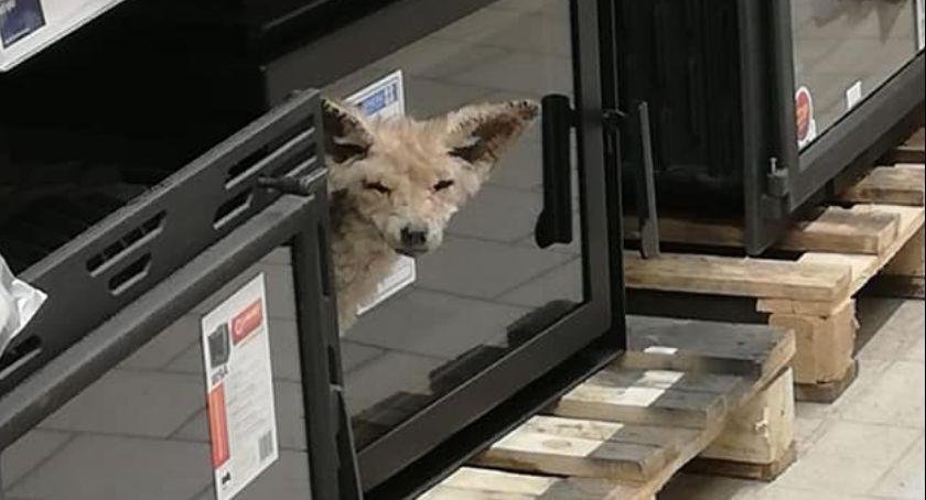 Lis w markecie budowlanym