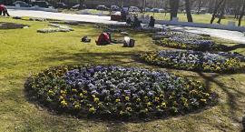 Ponad 150 tys. kwiatów pojawi się w naszym mieście