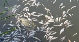 Setki martwych ryb w stawie Kaula
