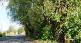 Spróchniałe drzewa usuną?