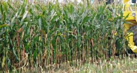 Tragiczne pole kukurydzy - 45-latek nie żyje