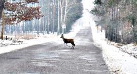 Od początku roku aż 46 zdarzeń z udziałem dzikiej zwierzyny