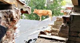 Niesamowita interwencja strażaków - krowa na dachu dworku w Niewikli!