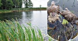 Martwe bobry w stawie - co się stało w Ćwiklinie?