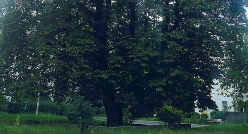 zieleń, Piękny Kasztanowiec będzie ochroną - zdjęcie, fotografia