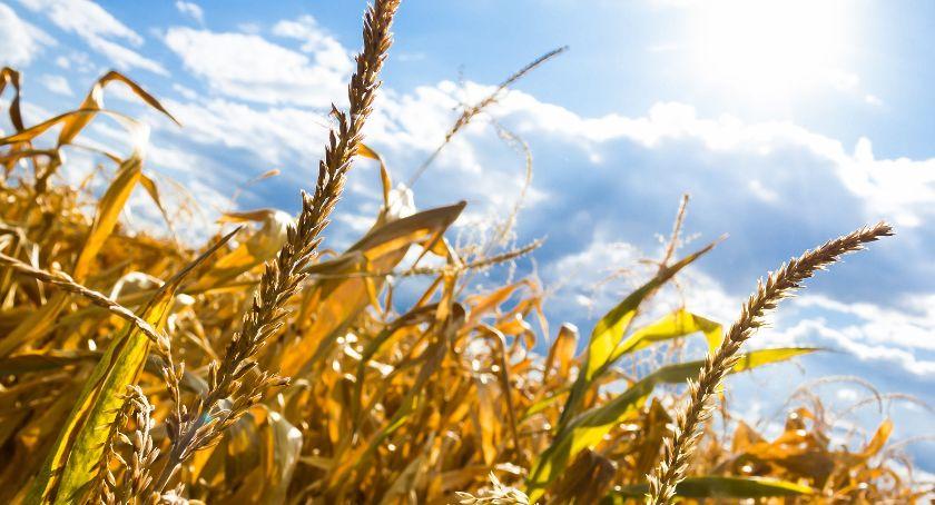 rolnictwo, Susza również powiecie zambrowskim nabór wniosków oszacowanie szkód - zdjęcie, fotografia