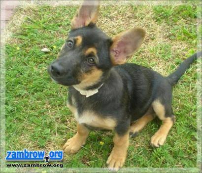 wiadomości lokalne, Chipowanie zwierząt sposobem bezpańskie Zambrowie - zdjęcie, fotografia