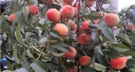 GUS: Rekordowe zbiory owoców w tym roku