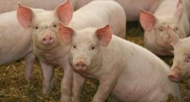 Trwa nabór wniosków o refundację dla hodowców świń