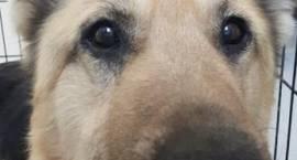 Poszukiwany właściciel znalezionego psa [foto]