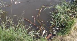 Martwe ryby w zambrowskim zalewie [foto]