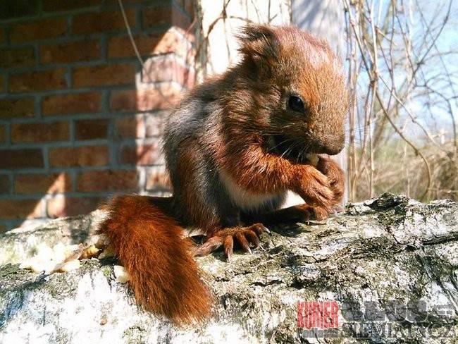 Wiewiórki z Drohiczyna